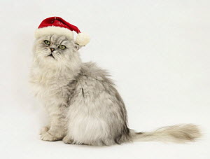 Silver tabby chinchilla Persian male cat, Cosmos, wearing a Father Christmas hat. - Mark Taylor