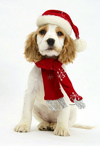 Orange roan Cocker Spaniel puppy, Blossom, wearing scarf and Father Christmas hat. - Mark Taylor