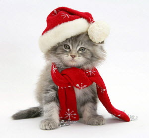 Maine Coon kitten wearing a Father Christmas hat and scarf. - Mark Taylor
