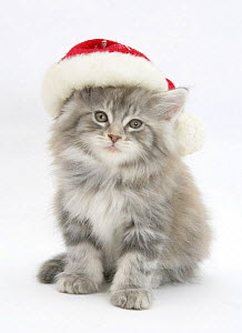 Maine Coon kitten wearing a Father Christmas hat.  -  Mark Taylor