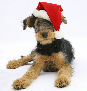 Airdale Terrier bitch puppy, Molly, 3 month, wearing a Father Christmas hat.  -  Mark Taylor