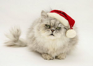 Silver tabby chinchilla Persian male cat Cosmos, wearing a Father Christmas hat.  -  Mark Taylor
