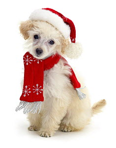 Poodle with scarf and Father Christmas hat.  -  Jane Burton
