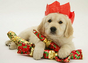Golden Retriever puppy with Christmas crackers wearing paper hat.  -  Jane Burton