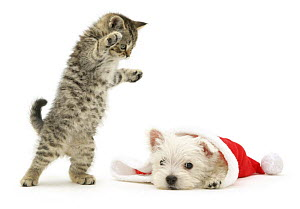 A playful tabby kitten pouncing on a West Highland White Terrier puppy as he pokes his head out from a Father Christmas hat.  NOT AVAILABLE FOR BOOK USE  -  Jane Burton