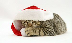 Tabby cat under a Father Christmas hat. - Jane Burton
