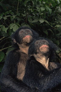Two Bonobo {Pan paniscus} orphans looking up and sitting in close proximity for comfort. Lola Ya Bonobo Sanctuary, Kinshasa, DR of Congo, 2007  -  Karl Ammann