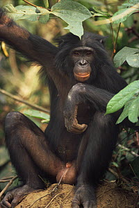 Male Bonobo {Pan paniscus} sitting, looking thoughtful. Lola Ya Bonobo Sanctuary, Kinshasa, DR of Congo, 2007  -  Karl Ammann