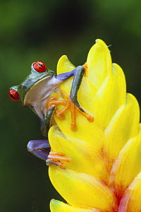 Red eyed tree frog (Agalychnis callidryas) on Heliconia flower, Costa Rica - Edwin Giesbers