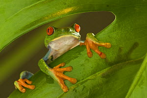 Red eyed tree frog (Agalychnis callidryas) looking over the edge of a leaf, Costa Rica - Edwin Giesbers