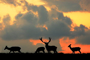 RF- Red Deer (Cervus elaphus) stag and three does silhouette grazing. Dyrehaven, Denmark. (This image may be licensed either as rights managed or royalty free.) - Edwin  Giesbers