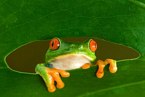 RF- Red-eyed Tree Frog (Agalychnis callidryas) looking through hole in leaf, Costa Rica. - Edwin  Giesbers