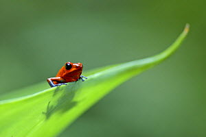 Strawberry poison dart / arrow frog (Dendrobates pumilio) on leaf, Costa Rica - Edwin Giesbers