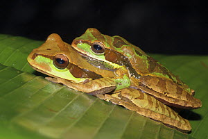 Two Masked tree / Puddle frogs (Smilisca phaeota), Costa Rica  -  Edwin Giesbers