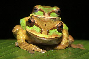 Masked tree / Puddle frogs (Smilisca phaeota) pair, Costa Rica  -  Edwin Giesbers