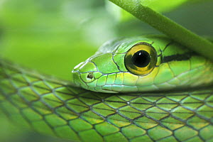 Close up of Satiny Parrot Snake (Leptophis depressirostris), Costa Rica  -  Edwin Giesbers
