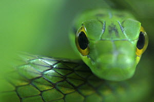 Close up of Satiny Parrot Snake (Leptophis depressibotris), Costa Rica  -  Edwin Giesbers
