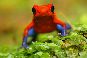 RF- Strawberry poison arrow / dart frog (Dendrobates pumilio), Costa Rica. (This image may be licensed either as rights managed or royalty free.) - Edwin  Giesbers