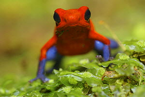 Strawberry poison arrow / dart frog (Dendrobates pumilio), Costa Rica - Edwin Giesbers