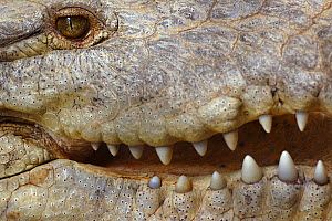 American Crocodile (Crocodylus acutus) close-up of mouth and teeth, Costa Rica  -  Edwin Giesbers