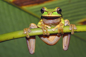 Masked tree / Puddle frog (Smilisca phaeota) hanging from stem, Costa Rica  -  Edwin Giesbers