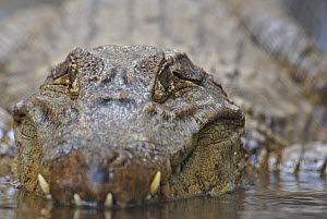 Spectacled Caiman (Caiman crocodilus) in shallow water, Costa Rica  -  Edwin Giesbers