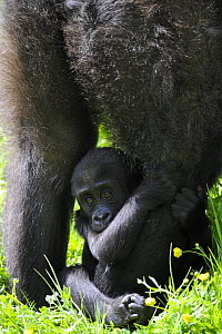 Western lowland gorilla (Gorilla gorilla gorilla) female baby clutching at mother's leg. Captive, France  -  Eric Baccega