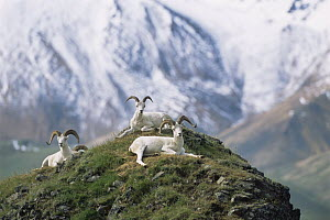 Dall sheep {Ovis dalli} resting on hill top with mountains behind, Denali NP, Alaska, USA  -  Suzi Eszterhas