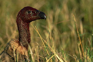 White backed vulture {Gyps africanus} head and neck covered in blood from feeding, Masai Mara GR, Kenya  -  Anup Shah