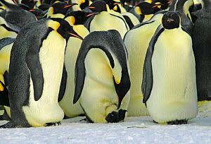 Emperor penguins {Aptenodytes forsteri} colony with males incubating eggs and one male turning egg, Antarctica - Fred Olivier