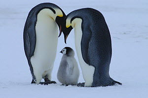 Emperor penguin {Aptenodytes forsteri} pair with chick, Antarctica  -  Fred Olivier