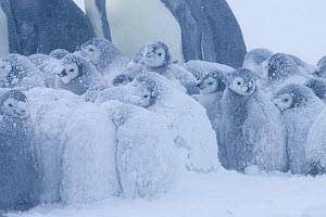 Emperor penguin {Aptenodytes forsteri} chicks huddled together for warmth during snow storm, Antarctica - Fred Olivier
