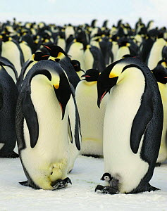 Emperor penguin {Aptenodytes forsteri} one adult with hewly hatched chick, another with hatching egg, Antarctica - Fred Olivier