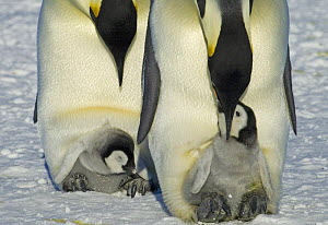 Emperor penguins {Aptenodytes forsteri} caring for and feeding young chicks in their brood pouch, Antarctica  -  Fred Olivier