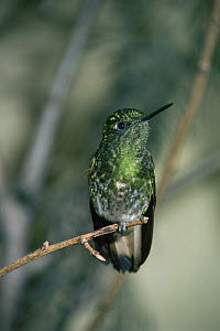 Buff tailed coronet {Boissonneaua flavescens} captive, from Andes, South America  -  Rod Williams