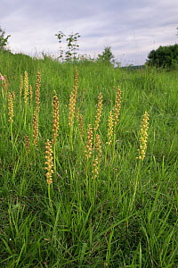 Man orchids {Orchis anthropophora} flowering on downland, UK  -  Russell Cooper