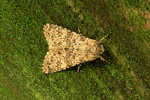 Knot grass moth {Acronicta rumicis} clearly visible against lichen on tree trunk, UK, sequence 2/2  -  Russell Cooper