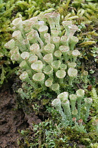 Pixie cup lichen {Cladonia sp} with fruiting bodies, UK  -  Russell Cooper