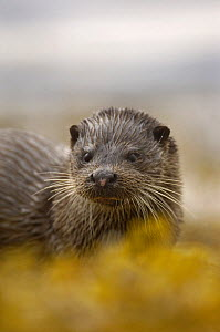 European river otter (Lutra lutra) portrait, Isle of Mull, Scotland, UK  -  Andrew Parkinson