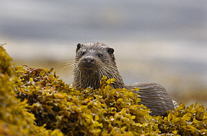 European river otter (Lutra lutra) adult amongst seaweed, Isle of Mull, Scotland, UK  -  Andrew Parkinson