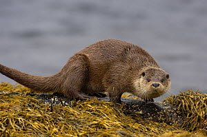 European river otter (Lutra lutra) adult on a rock surrounded by seaweed,  Isle of Mull, Scotland, UK  -  Andrew Parkinson
