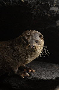 European river otter (Lutra lutra) adult on rocks, Isle of Mull, Scotland, UK  -  Andrew Parkinson
