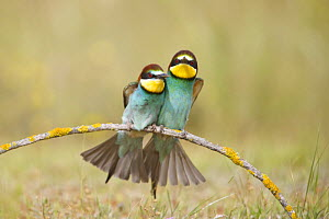 European bee eaters (Merops apiaster) sitting close together on branch. Seville, Spain - Jose B. Ruiz