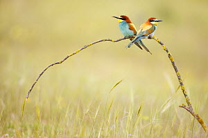 European bee eaters (Merops apiaster) on branch in meadow. Seville, Spain - Jose B. Ruiz