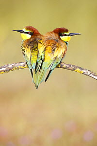 European bee eaters (Merops apiaster) perched close together on branch. Seville, Spain - Jose B. Ruiz