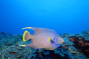Natural hybrid cross between Blue angelfish {Holacanthus bermudensis} and Queen angelfish {Holacanthus ciliaris} Texas, Gulf of Mexico, USA  -  Doug Perrine