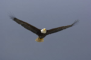 American bald eagle (Haliaeetus leucocephalus) flying in front of dark storm clouds, Prince Rupert, British Columbia, Canada - Mark Carwardine