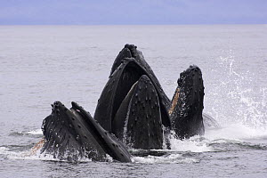 Humpback whales (Megaptera novaeangliae) lunge-feeding for herring (after bubble-netting), Frederick Sound, South East Alaska, USA, Endangered or threatened species (Vulnerable)  -  Mark Carwardine