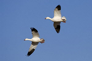 Two Snow geese (Anser / Chen caerulescens) flying, Bosque del Apache National Wildlife Refuge, New Mexico, USA - Mark Carwardine