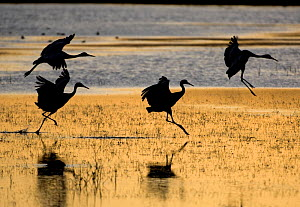 Sandhill cranes (Grus canadensis) flying, Bosque del Apache National Wildlife Refuge, New Mexico, USA  -  Mark Carwardine